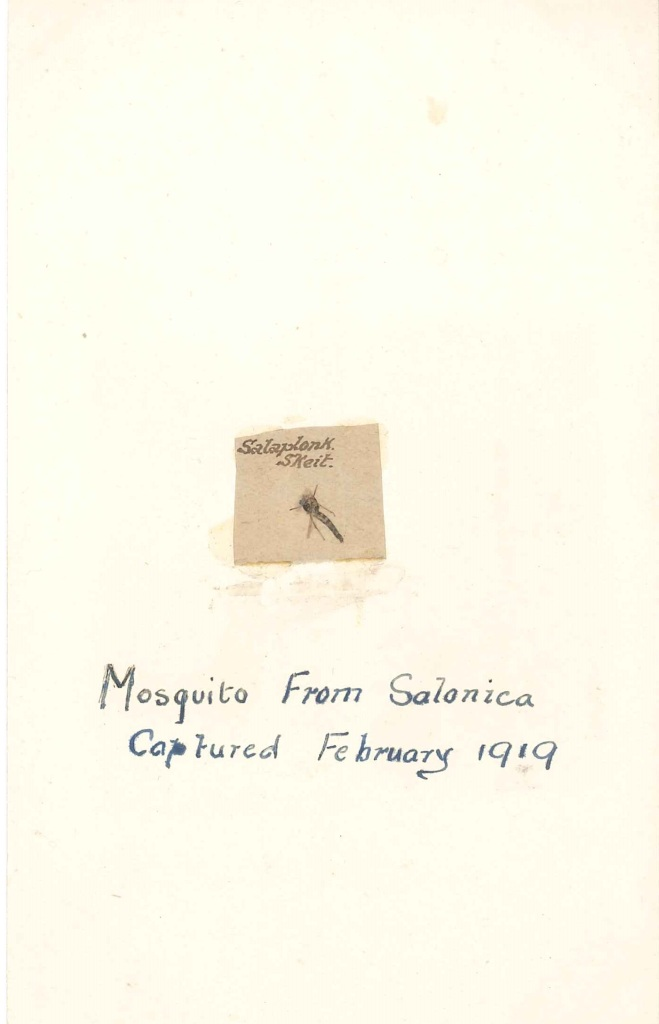 Mounted on a post card: Mosquito from Salonica captured February 1919.