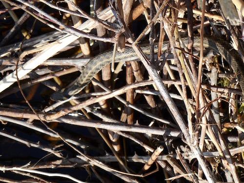 Snake at the edge of Lake Doiran; editor's photo, March 2016