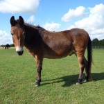 Photograph of Muffin, Adoption Star of the Redwings Horse Sanctuary, and adopted mule of the Salonika Campaign Society.
