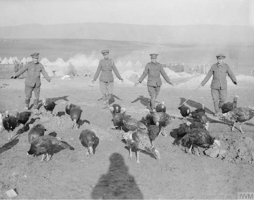 Turkeys reared for the mess by British troops, Salonika, December, 1916. © IWM Q 32603