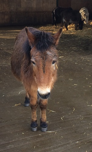 Photograph of retired Redwings 'Adoption Star' Muffin, honorary member of the Salonika Campaign Society.