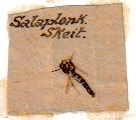 A mosquito from Salonika mounted on a card