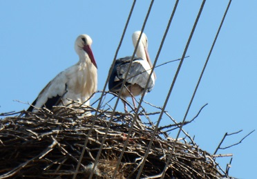Photo of two nesting storks in the Struma valley, March 2016, by Marion Braysher.